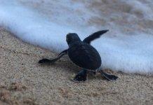 Chương trình tình nguyện viên bảo tồn rùa biển tại Vườn quốc gia Côn Đảo